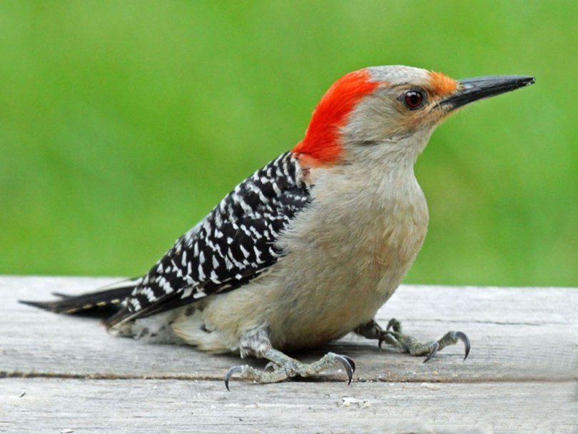 Red-bellied woodpecker on a ledge