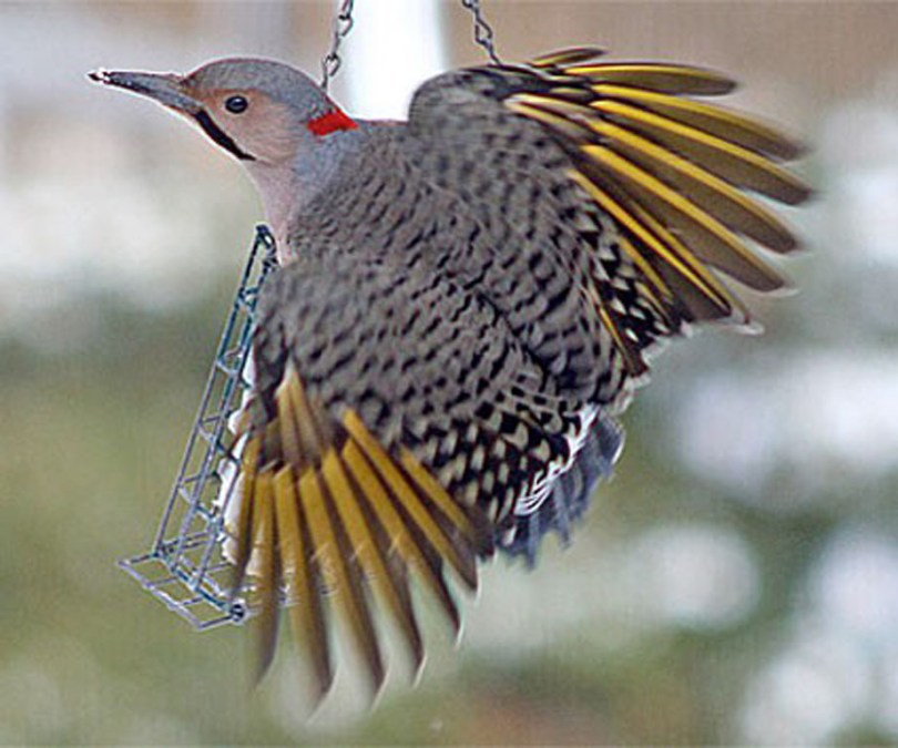 Yellow-shafted ficker on bird feeder