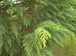 Leyland cypress leaves
