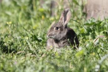 Conejo de monte. Foto de Daniel Jareño Gómez
