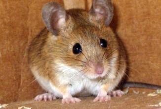 Ratón moruno