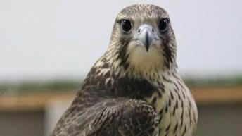 El trabajo contribuye a la conservación de las aves rapaces más amenazadas.