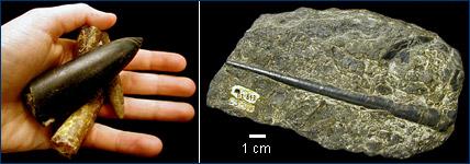 Belemnite fossils