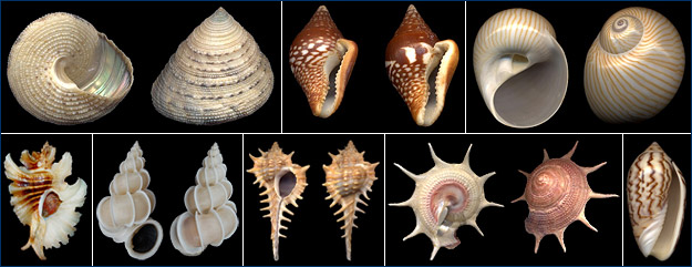 Shells of various marine gastropods