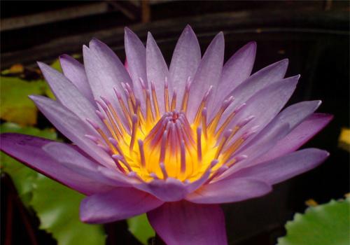 lotus-beautiful flower