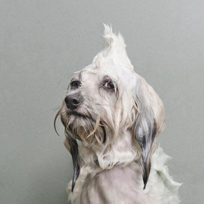 Portraits-Animals-Wet-Dogs-Sophie-Gamand-Oscar