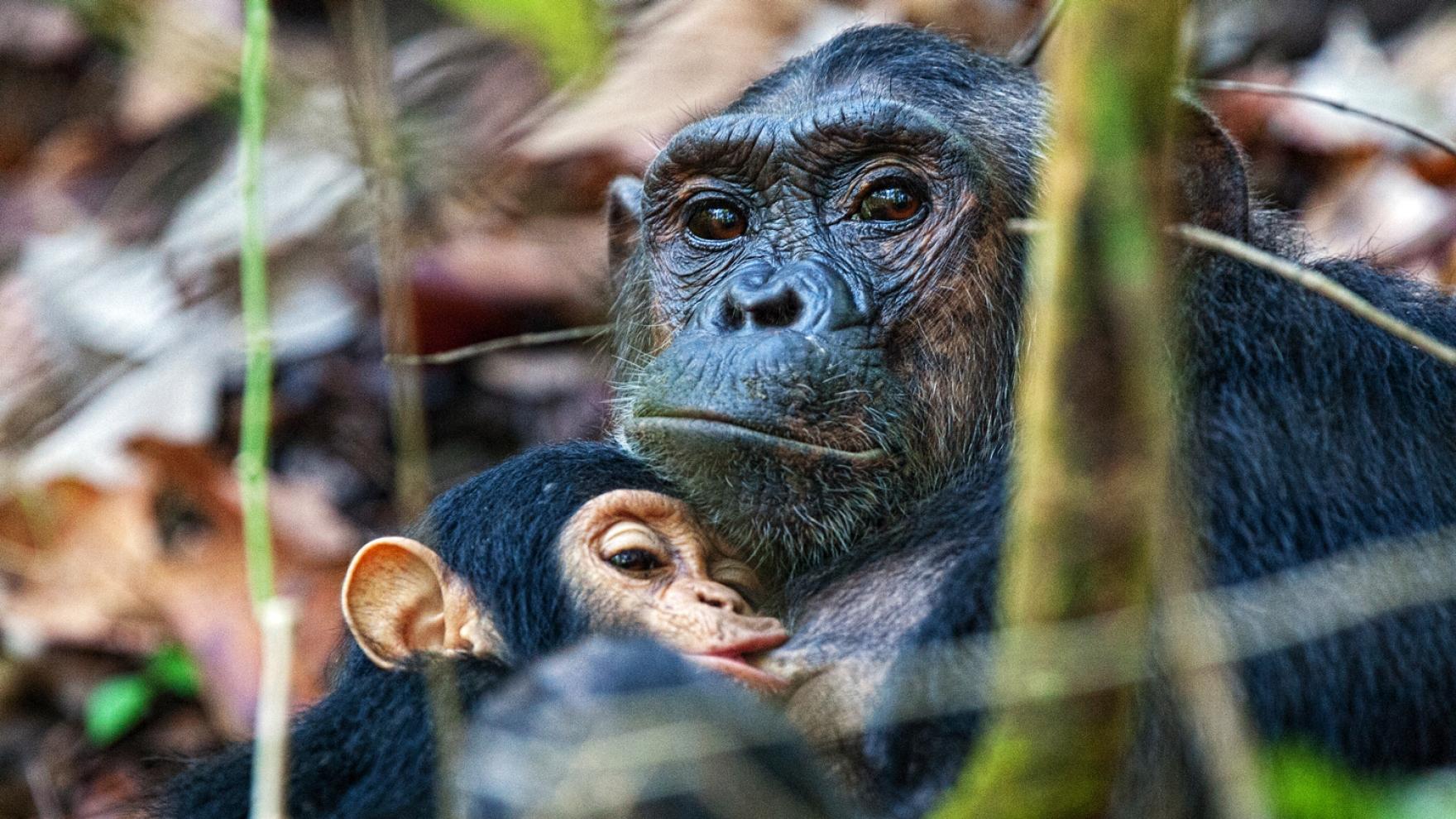 Chimpanzee Brain Organoids Hint At Secrets Of Human