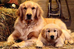 Köpeklerde Hamilelik / Gebelik Dönemi