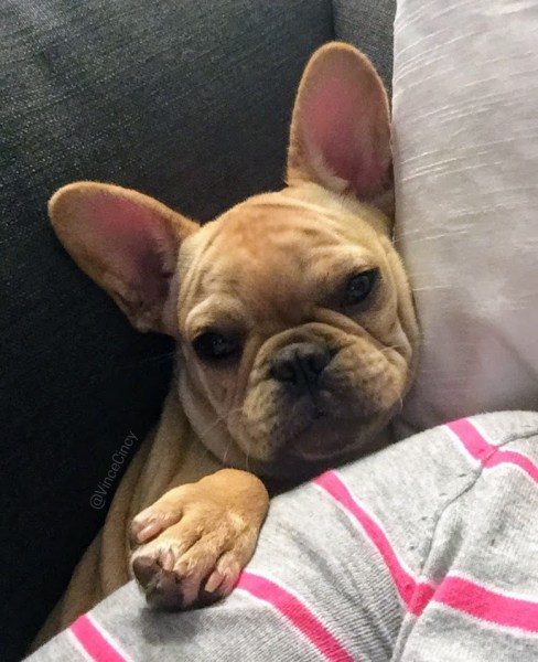 French Bulldog puppy |@vinceCincy | udandi.com
