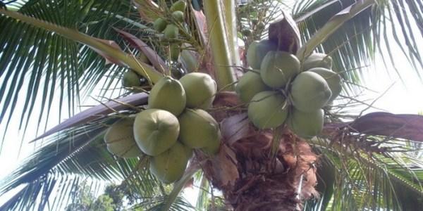 Комнатная кокосовая пальма в домашних условиях: фото, уход ...