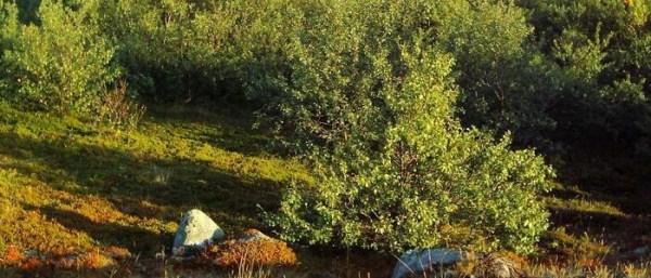 Карликовая береза в ландшафтном дизайне — MOREREMONTA
