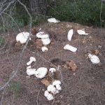 Собираем шампиньоны грибы полевые и лесные: как выглядит ...