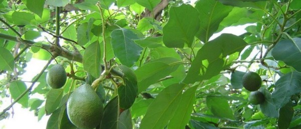 Дерево авокадо - это фрукт: как выглядит дерево авокадо ...