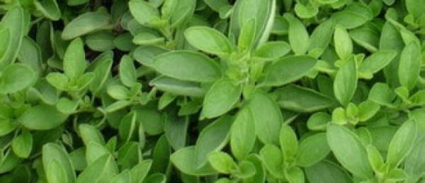 Трава, цветок майоран садовый: полезные свойства ...