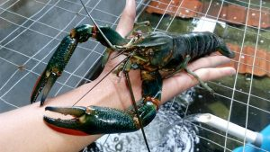 jual lobster air tawar