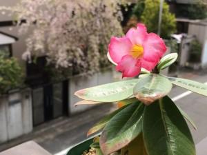 アデニウム・アラビカム@そら植物園+ほぼ日