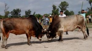 แทงวัวชนUFABET
