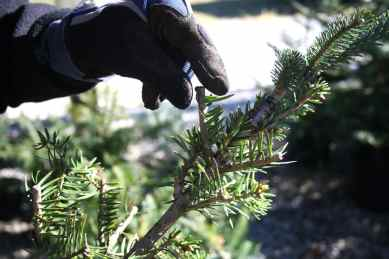 Garden - Fir Grafts