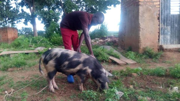 Nelson Mandela attends to a farmer's pig in Olupet village, Kumi District