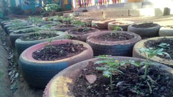 Tomatoes seedlings planted in used tires at Ayub's compound