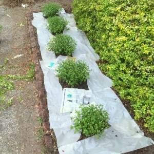 How to Prevent Weeds with Newspaper and Mulch