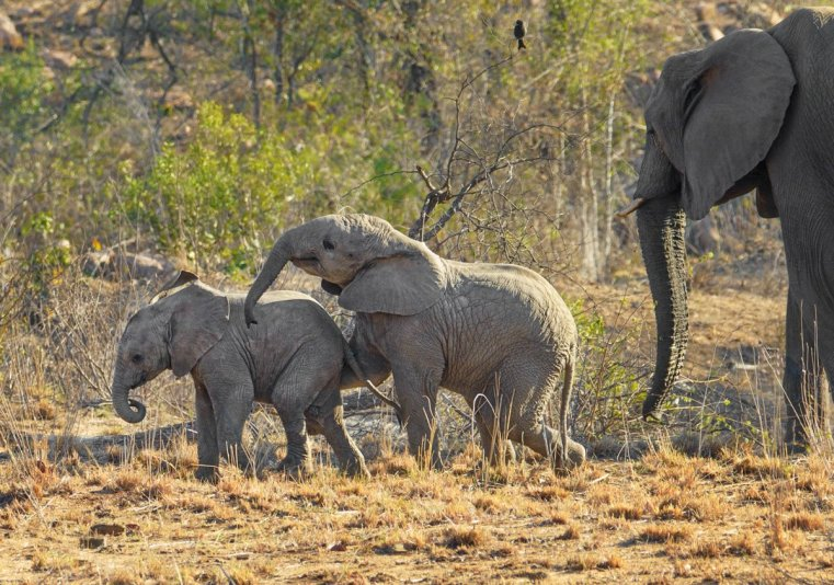 Watching elephant babies playing is such a joyful experience