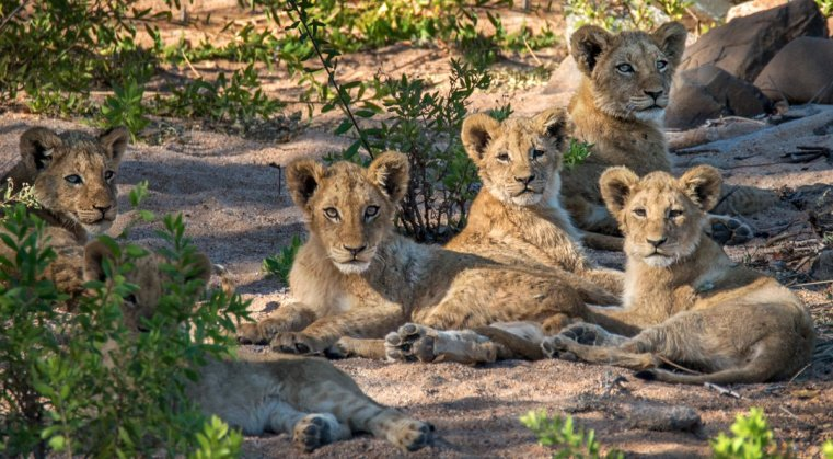 Lion cubs on alert in the late afternoon