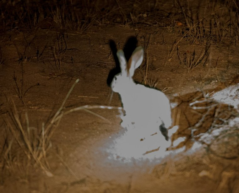 Scrub hare overexposed example