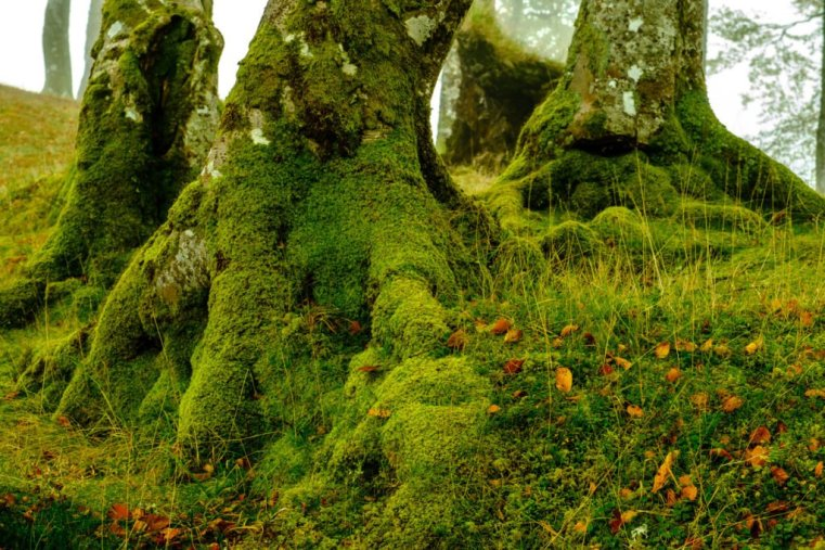 Moss covered trees, Kilchurn Castle, Loch Awe, Scotland