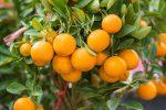 Orange Essential Oil - 6X