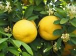white grapefruit oil