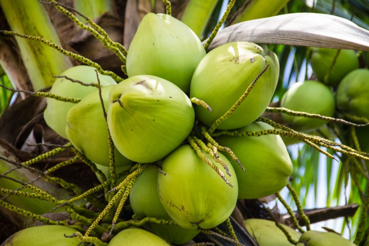 coconut oil rbd 92