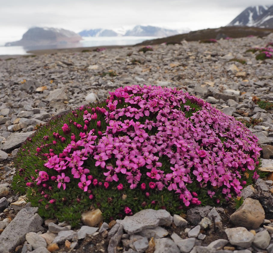 A cushion plant Silene acaulis growing near Kongsfjord, Svalbard