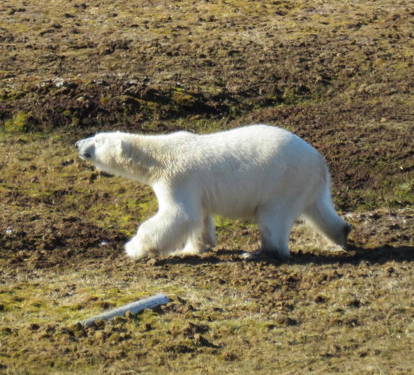 A polar bear on Svalbard