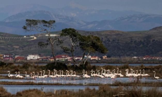 Dalmatian pelicans return to their lagoon 'kingdom' in Albania