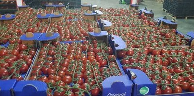 Albanian tomatoes are exported even to the top exporting tomato country in the world, Holland