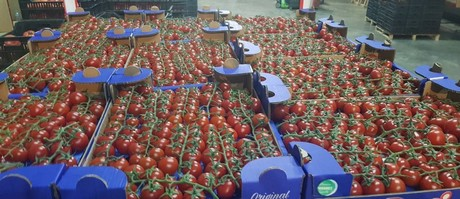 Albanian tomatoes are becoming popular