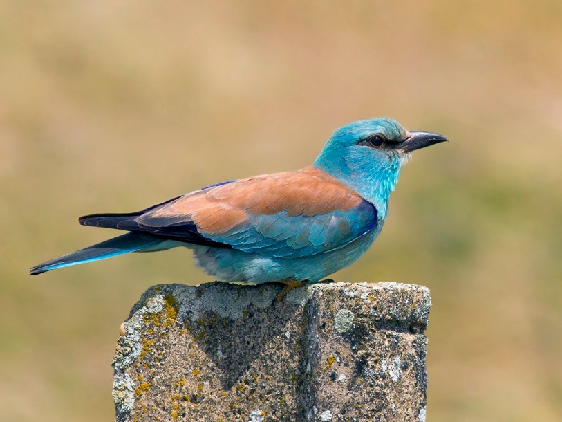 European Roller have been found in Albania