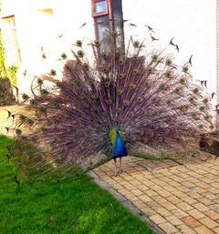 Peacock full display