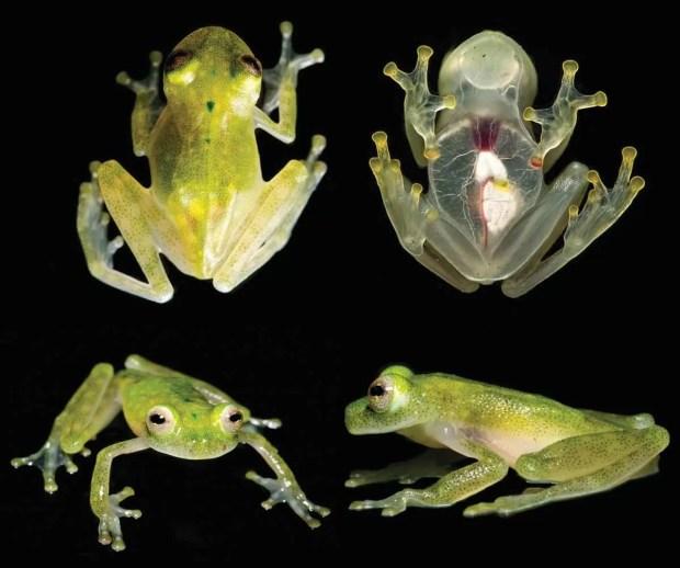 У самцов этого вида особое репродуктивное поведение – они подают тональные сигналы сидя на листьях нависающих над потоками воды