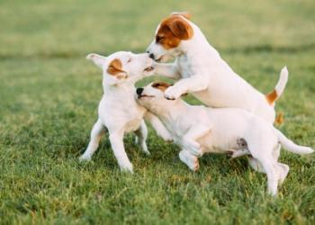 كل ما تحتاج لمعرفته حول بارفو مرض الكلاب