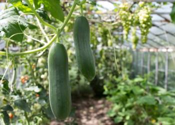 إذا كنت تريد أن تحصل على الخيار الجيد، تجنب زراعة هذه المحاصيل بجانبه
