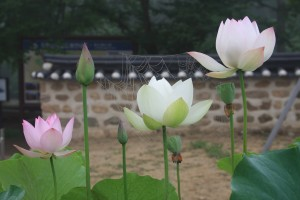 A spider has slung his web across lotus flowers