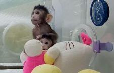 Clonazione: fatte nascere due scimmie