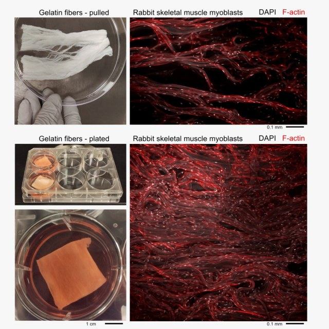 photos of red meat fibers an plated gelatin items in petri dish and the fibers pulled in petri dish