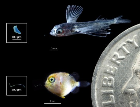 Baby Fish Feast on Microplastics, and Then Get Eaten