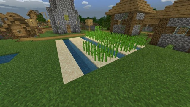 Sugar cane has already started growing