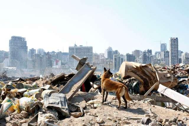 Un chien de l'équipe de secours française recherche des survivants sur les lieux de l'explosion survenue dans le port de Beyrouth, au Liban, le vendredi 7 août 2020.