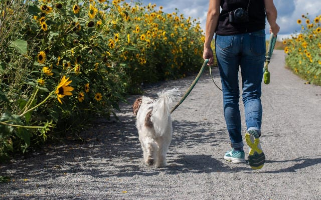 Person walking a dog past sunflowers
