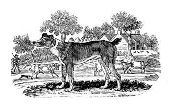 Herd dog